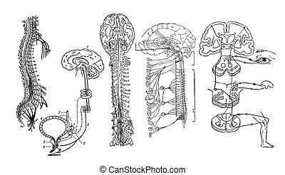 nervös, zentral, system, vector.