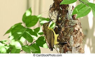 nest, vogel, thailand., olive-backed, baby, sunbird, sunbird, jugularis, yellow-bellied, cinnyris