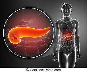 Pankreas Anatomie.