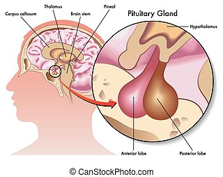 Pituitary Drland. EPS