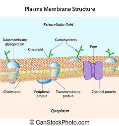 plasma, membrane