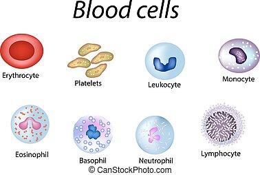 platelets, satz, gefärbt, zellen, neutrophils, freigestellt, abbildung, infographics., vektor, basophils, hintergrund, lymphozyten, cells., monocytes., eosinophils, leukozyten, rotes , blut