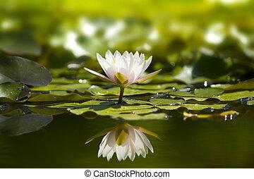 pond., waterlily, natur, weißes