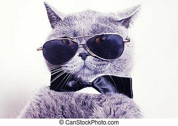 Portrait der britischen Kurzhaar-Grau Katze mit Sonnenbrille.