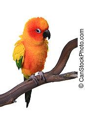Puffy-Sonnen- Papagei-Vogel.