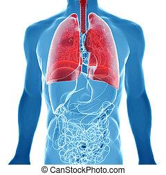 röntgenaufnahme, ansicht, koerperbau, lungen, menschliche