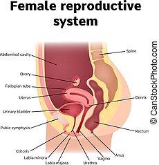reproduktives system
