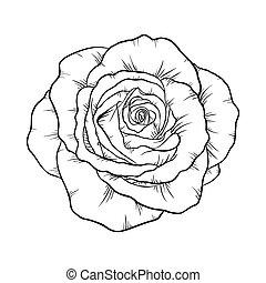 rose, weißes, schwarz, freigestellt, hintergrund.