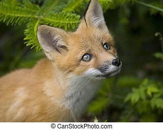Säugetier roter Fuchs G.