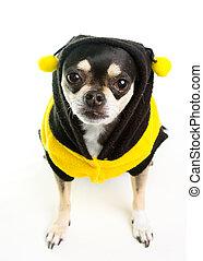Süße Chihuahua Honigbiene