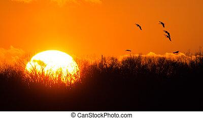 Sandhill-Krane bei Sonnenuntergang.