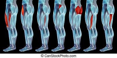 satz, bein, höher, menschliche , oder, koerperbau, 3d, anatomisch, muskel, sammlung