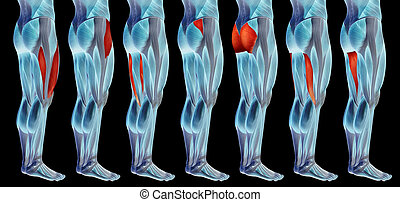 satz, bein, koerperbau, anatomisch, muskel, oder, sammlung, menschliche , 3d, höher