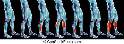 satz, unterschenkel, koerperbau, anatomisch, muskel, oder, sammlung, menschliche , 3d