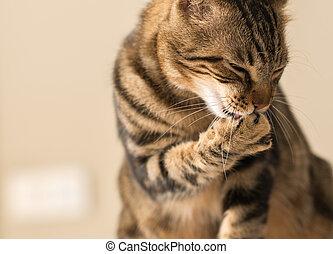 Schöne Katzenkatze leckt sich zu Hause. Häusliches Tier