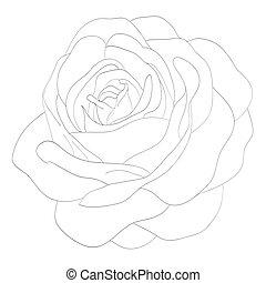 schöne , rose, freigestellt, schwarz, monochrom, weißes, background.?