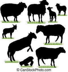Schafe und Lämmchen sind bereit
