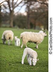 Schafe und Lämmer in einem Feld.