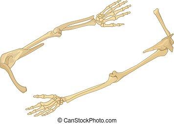 Schulterknochen flacher isometrischer Vektor