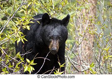 Schwarzer Bär.