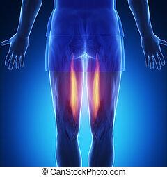 semitendinosus, blaues, muskel, -, koerperbau