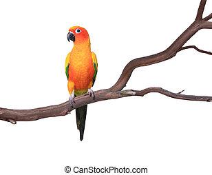 Single Sun Conure Papagei auf einem Baumzweig.