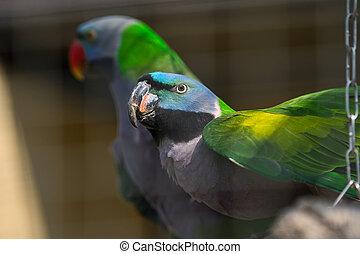 sitzen, baum, zwei, lovebird, papageien, zweig