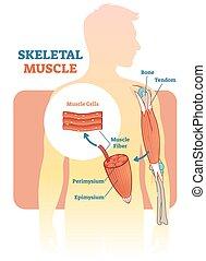Skeletales Muskel-Vektor-Diagramm, anatomisches Schema mit menschlicher Hand.