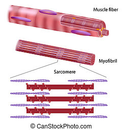 skelettartig, muskel, struktur, faser