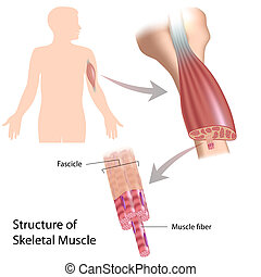 skelettartige struktur, eps10, muskel