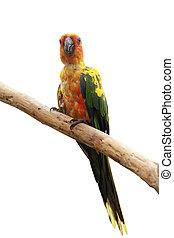 Sonnen-Parotvogel.