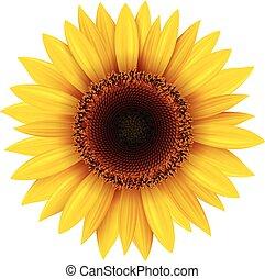 Sonnenblume.