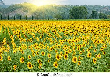 Sonnenblumenlandwirtschaft