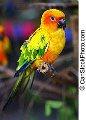 Sonnenkonure Papagei auf einem Baumzweig.