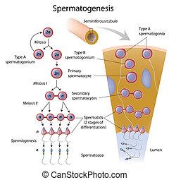 Spermien, Eps10