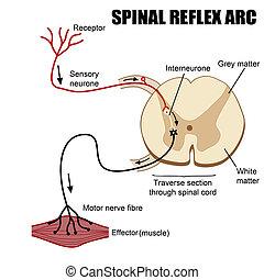 spinal, bogen, reflex