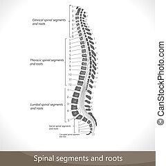 Spinale Segmente und Wurzeln.