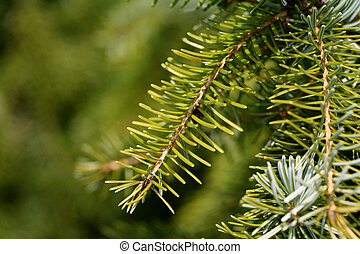 Spruce-Baum schließen