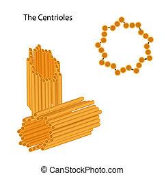 Struktur der Centrioles, Eps8