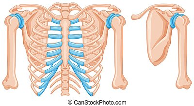Struktur der Schulterknochen.