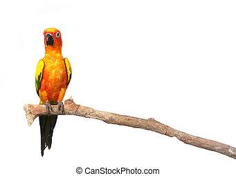 Sun conure Papagei auf einem Zweig mit Kopienraum