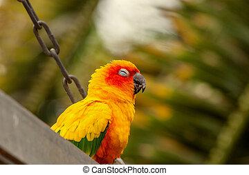 Sun Conure Papagei auf einer Schaukel.