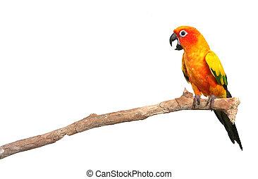 Sun conure Papagei schreit auf einem Ast