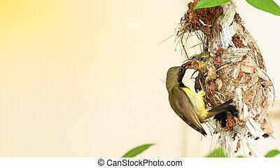 sunbird, nest, cinnyris, olive-backed, jugularis, yellow-bellied, vogel, thailand., baby, sunbird