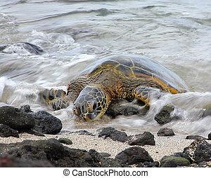 Surfschildkröte