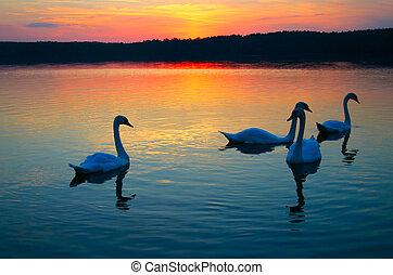 Swan-Familie