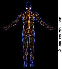 system, lymphatisch