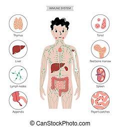 system, menschlicher körper, lymphatisch
