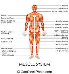 system, muskulös