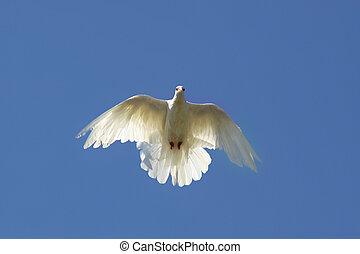 Taube in der Luft.